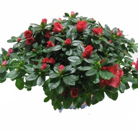 Azalea Red