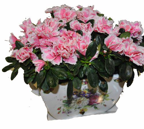 Azalea plant in special ceramic base