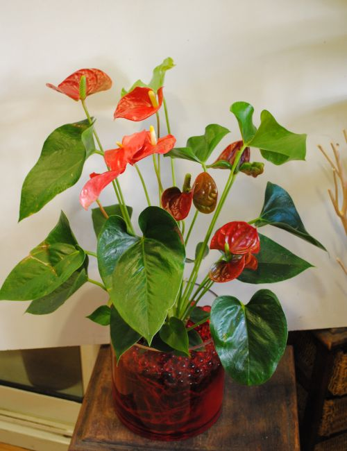 Anthurium plant with red flowers