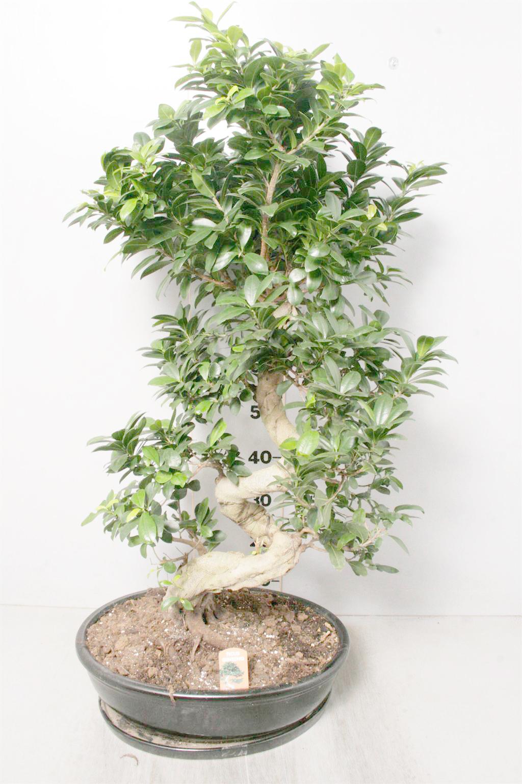 Bonsai large