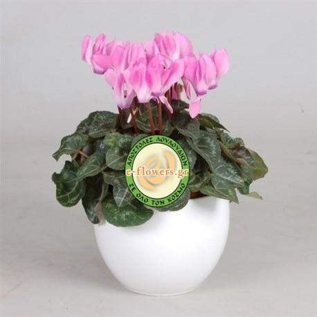 Cyclamin in ceramic pot