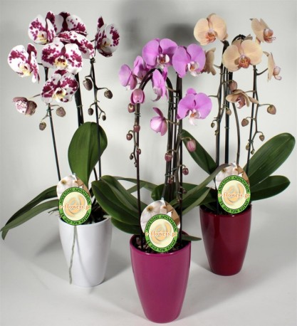 Orchids in Pot