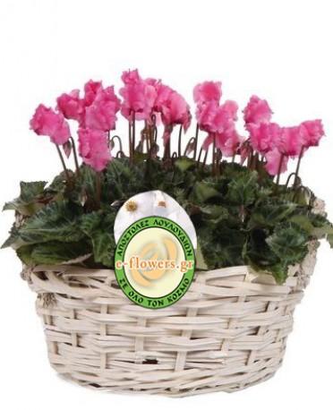 Cyclamin in Basket