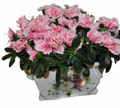 Azalea plant in special ceramic base